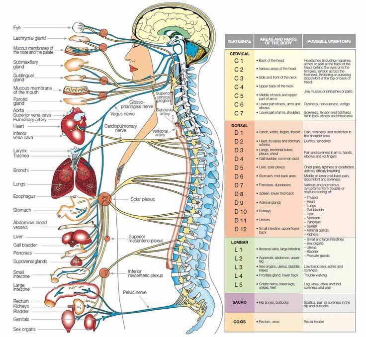 Chiropractic Richmond VA Organ Nerve Levels
